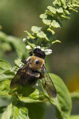 bombus: Bombus Bumble Bee on Sweet Basil 2