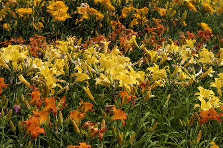 naturalized: Naturalized Yellow and Orange Daylily Plants Stock Photo