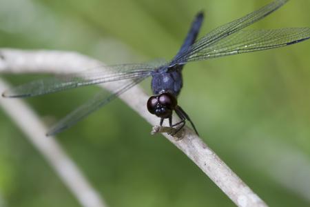 Eastern Pondhawk Dragonfly - Erythemis Simplicicollis Stock Photo