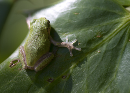tiny frog: Pine Barrens Green Tree Frog - Hyla Andersonii