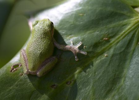 green tree frog: Pine Barrens Green Tree Frog - Hyla Andersonii