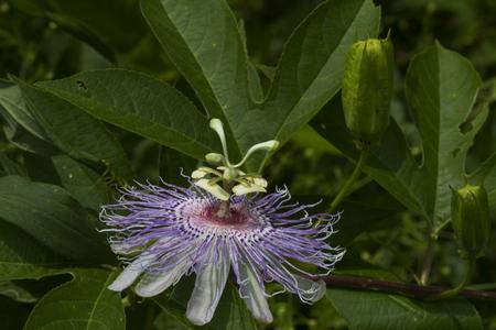 Alabama: Alabama Wild Passion Flower Blossom