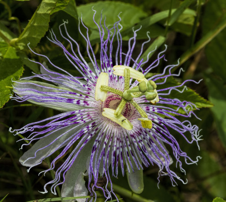 passion flower: Alabama Wild Passion Flower Blossom