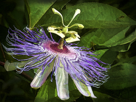 passion flower: Digitally Painted Alabama Wild Passion Flower Blossom