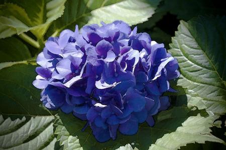 perennials: Blue Hydrangea Flower Cluster Stock Photo