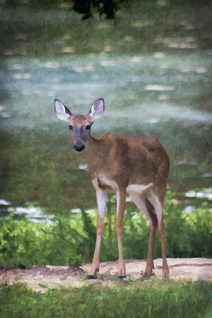 virginianus: Alabama White-tailed Deer