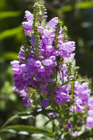 perennials: Obedient Plant Blossoms - Physostegia virginiana