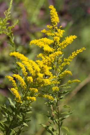 goldenrod: Tall Goldenrod Wildflowers - Solidago