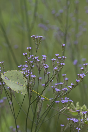 Purpletop Verbena Verbena bonariensis Wildflowers Foto de archivo - 61091312