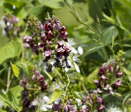 indian bean: Wild Indian Potato Bean Wildflowers Stock Photo