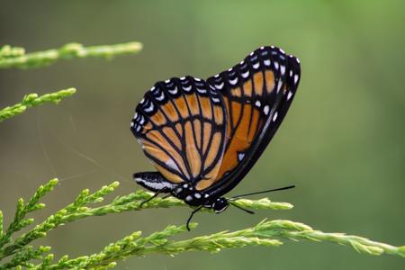 Mariposa monarca - Danaus plexippus  Foto de archivo - 61894469