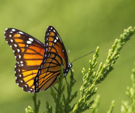 enebro: Mariposa monarca - Danaus plexippus