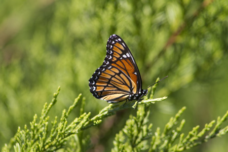 Mariposa monarca - Danaus plexippus  Foto de archivo - 61925771