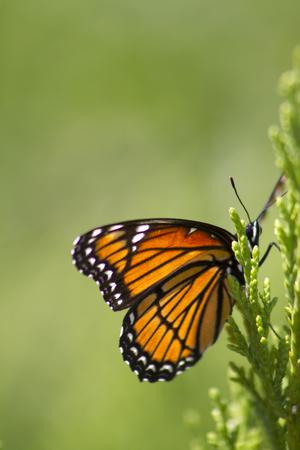 Mariposa Monarca - Danaus plexippus Antecedentes Foto de archivo - 61925776