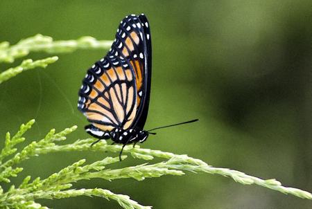 Mariposa monarca - Danaus plexippus  Foto de archivo - 61925790