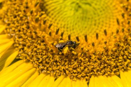 Biene auf Sonnenblume  Standard-Bild - 68408642