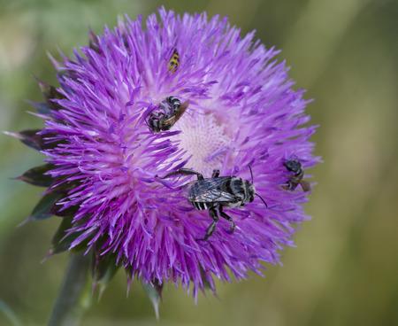Bull Cardo y abejas 9 Foto de archivo - 68408643