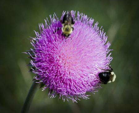 Bull Distel und Bienen 8 Standard-Bild - 68408644