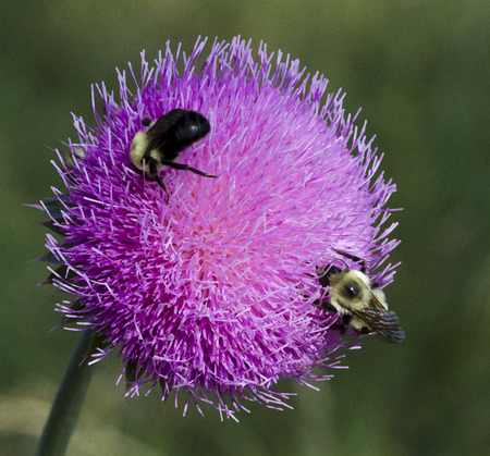 Bull Thistle and Bees 7