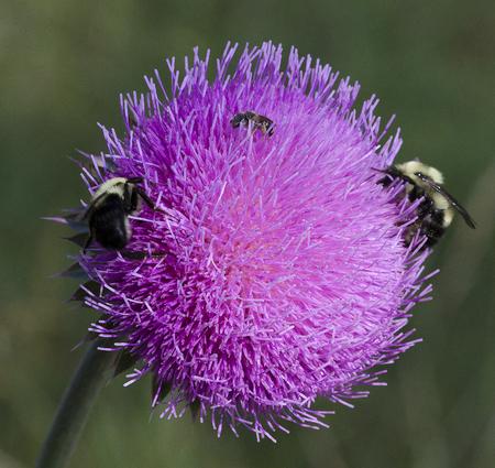Bull Cardo y abejas 6 Foto de archivo - 68408646