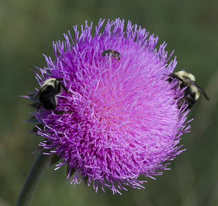 Bull Thistle and Bees 6 Stok Fotoğraf