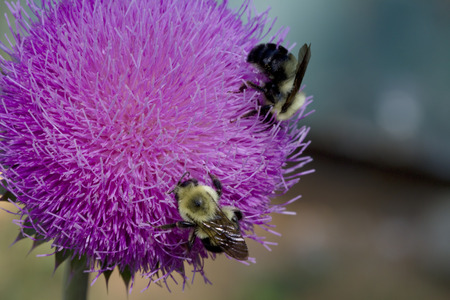 Bull Thistle and Bees 5