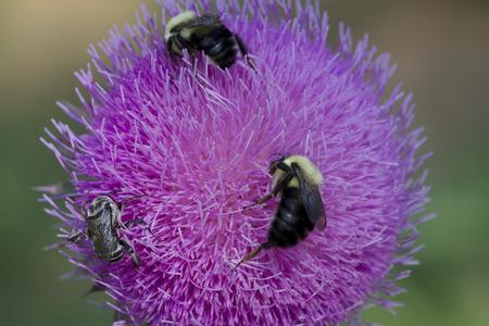 Bull Cardo y 4 abejas Foto de archivo - 68408648