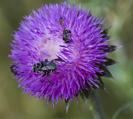 Bull Thistle and Bees 2 Stock Photo