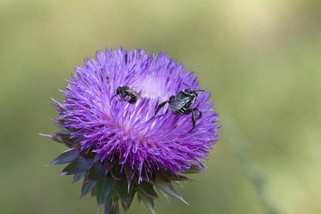 Bull Distel und Bienen Standard-Bild - 68408651