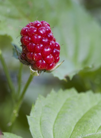 This is the ripe fruit of a boysenberry