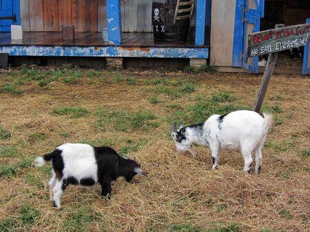 Black and White Goats Grazing in Barnyard