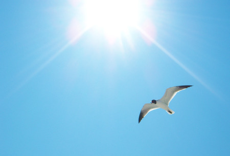 Seagull flying into sunlight