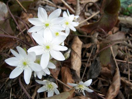 fiori di campo: Fiori bianchi Archivio Fotografico