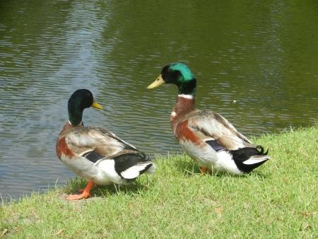 Mallard Ducks Lake