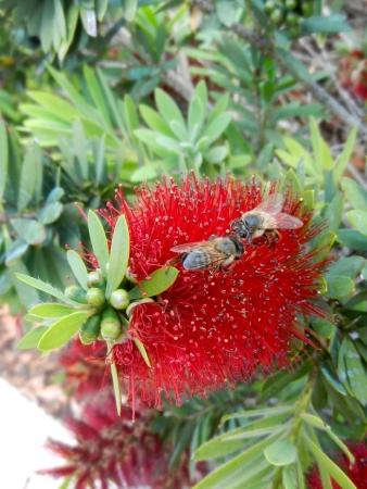 TTwo Bees on Bottlebrush Flower Фото со стока