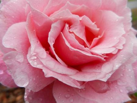 ウェット ピンク バラ満開 写真素材