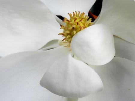 Close-up van magnolia bloesem Stockfoto