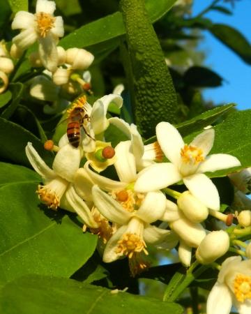 Bee op citrus bloesem Stockfoto