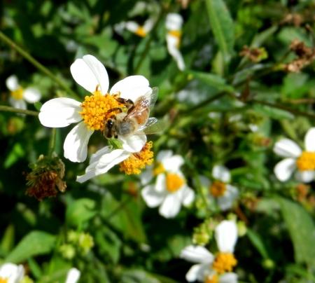 Honingbij op wilde bloemen