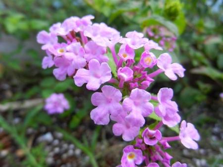 Close-up van kleine roze Lantana bloemen in verschillende stadia van bloei