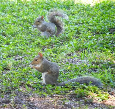 Twee eekhoorns eten in het gras