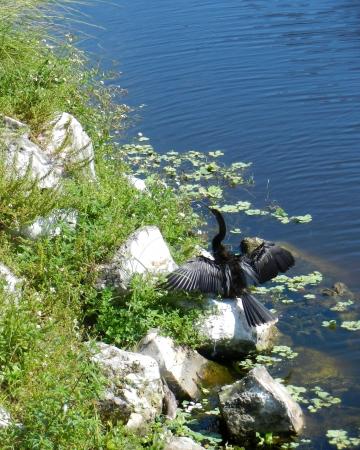 Aalscholver drogen vleugels op rotsen door het meer in Clearwater, FL park Stockfoto