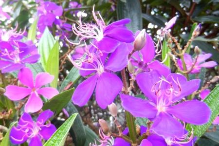 Prachtige paarse bloosoms in Florida