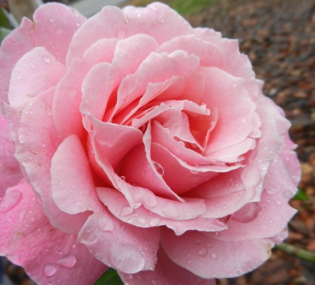 Dew Covered Pink Rose Stockfoto