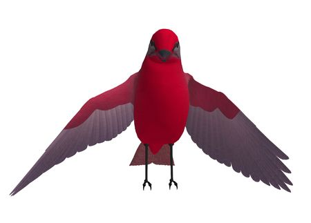 Red songbird standing with wings spread