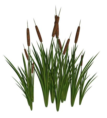 marsh plant: Green and Brown Cattails on a white background Stock Photo
