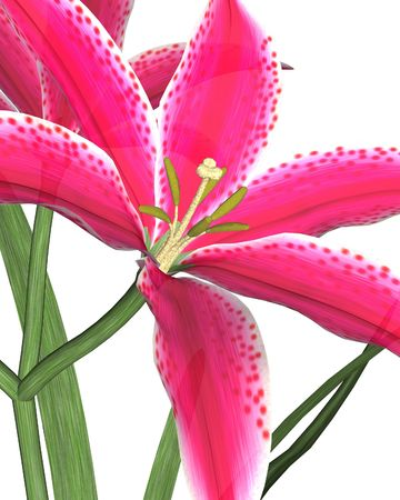 Large pink lily on a white background photo