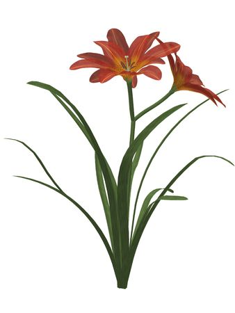 One Orange lily on a white background photo