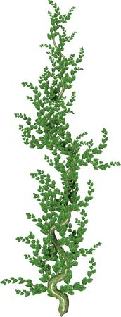 backwoods: Green vine with green bark on a white background