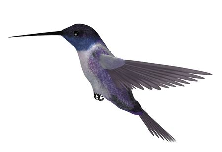 Blue purple hummingbird with wings spread in mid flight